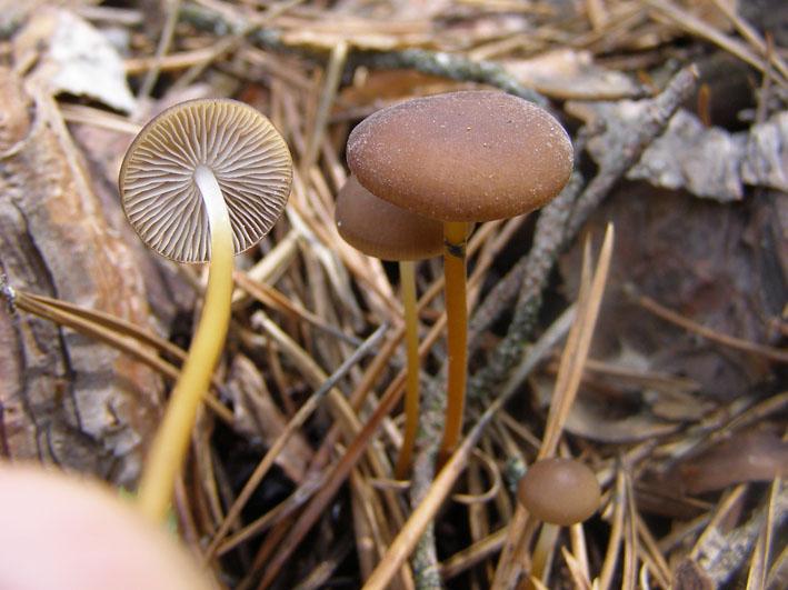 fungi.su/forum/attachments/2-1_1.jpg