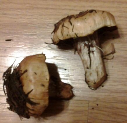 fungi.su/forum/attachments/20130805_015335.jpg