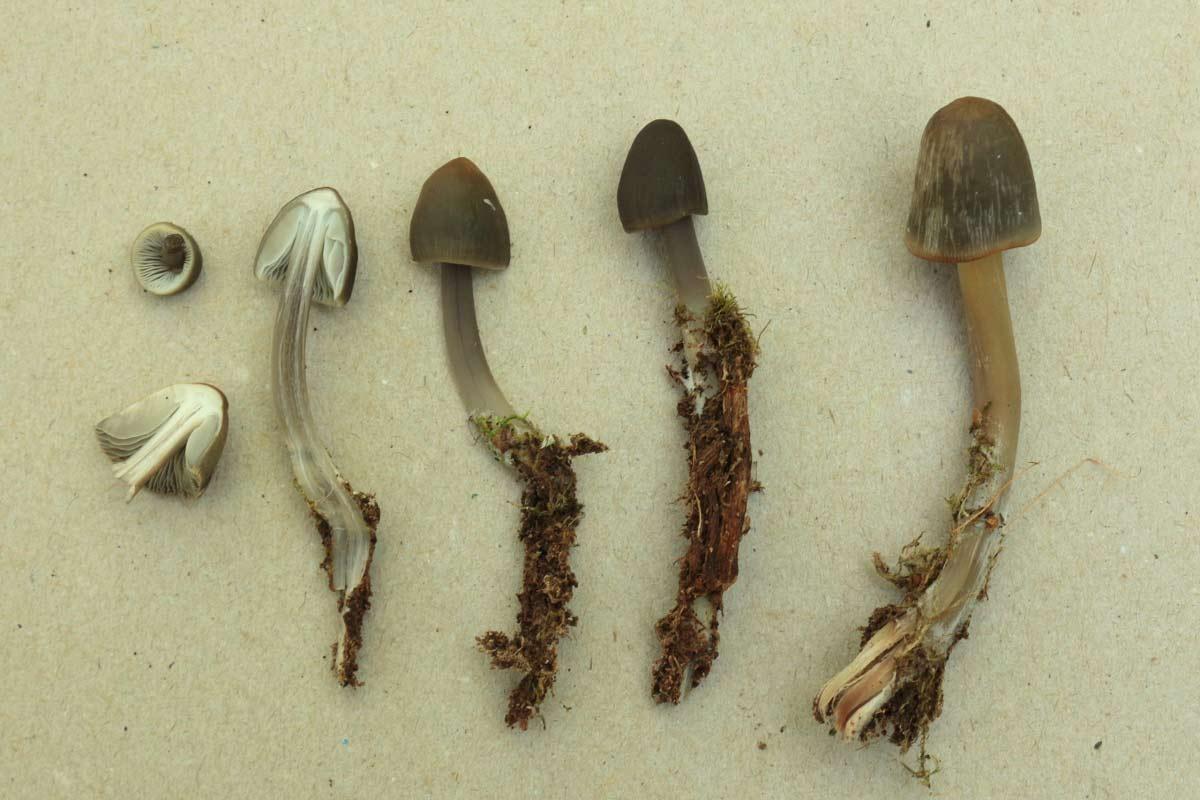 fungi.su/forum/attachments/img_0011.jpg