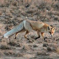 Обыкновенная лисица
