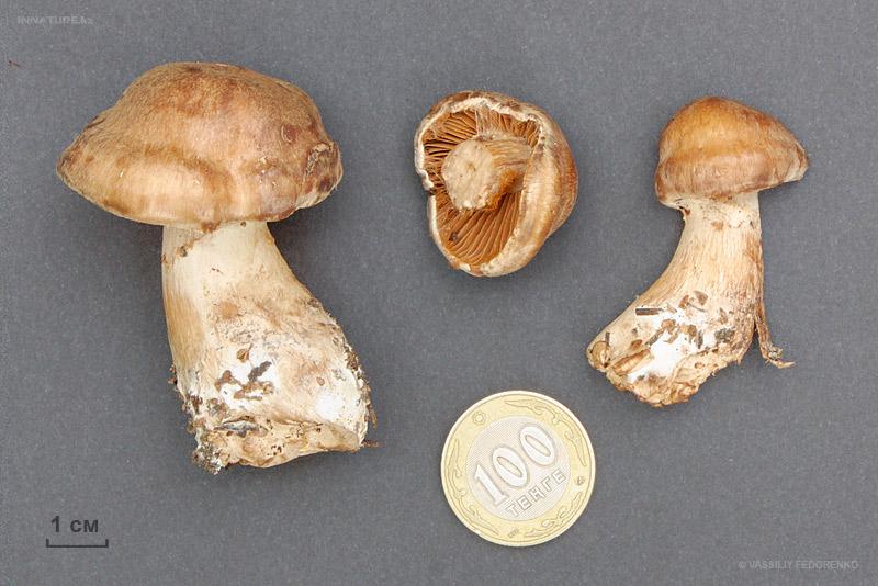 Cortinarius016