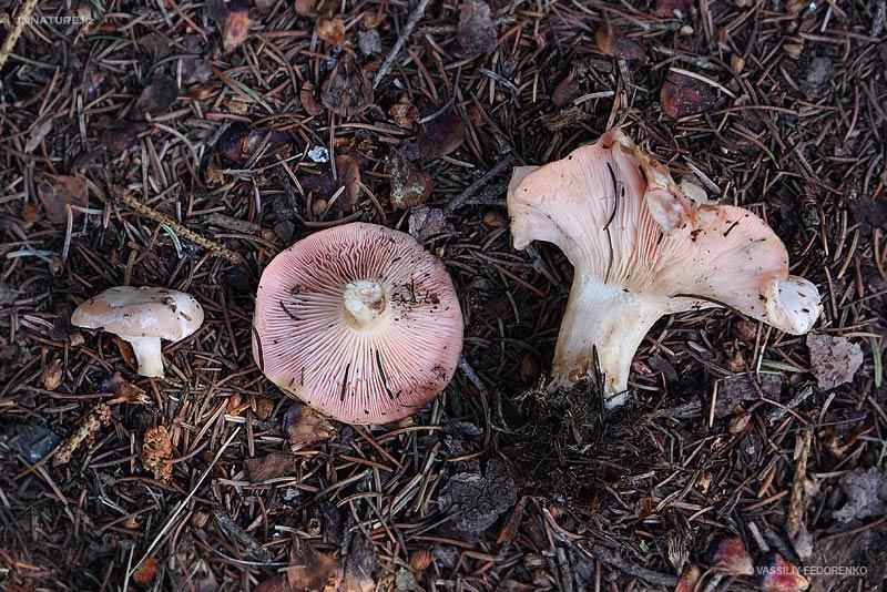 fungi.su/images/photoalbum/album_111/fungi_52_3.jpg