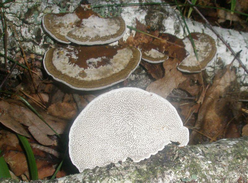 Дедалеопсис бугристый