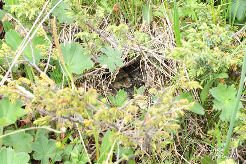 Гнездо черногрудой красношейки