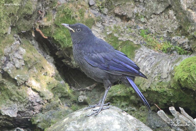 Синяя птица, синий дрозд