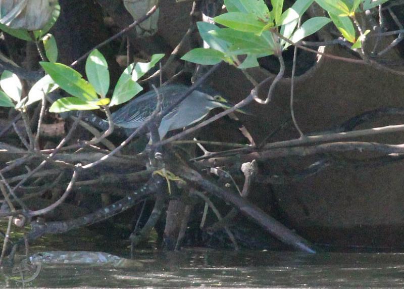 Зелёная кваква (Butorides striatus)