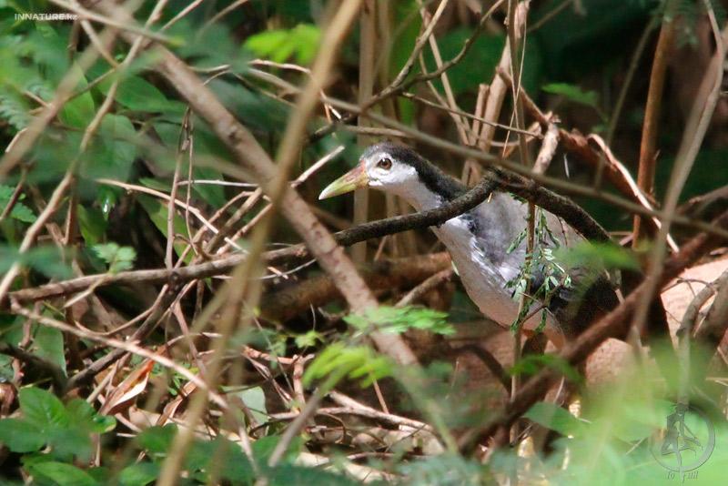 Погоныш белогрудый (Amaurornis phoenicurus)