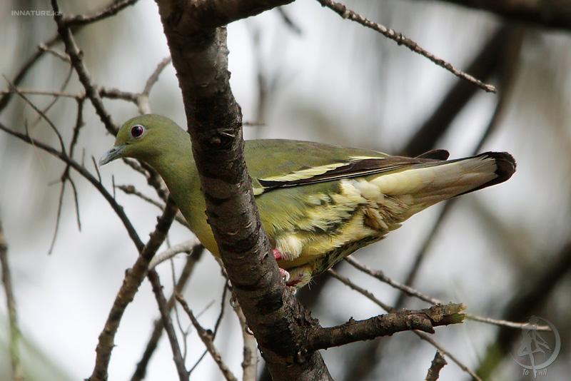 Зеленый розовошейный голубь