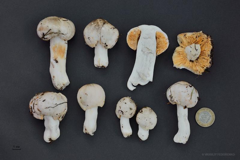 fungi.su/images/photoalbum/album_137/russula_01_02.jpg