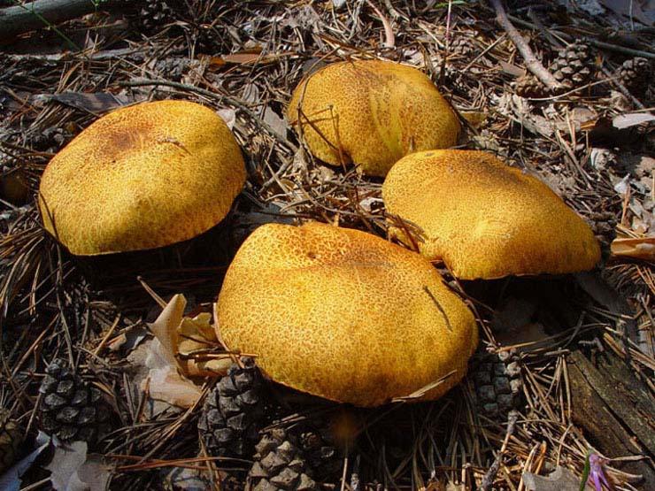 fungi.su/images/photoalbum/album_37/dsc01533a.jpg